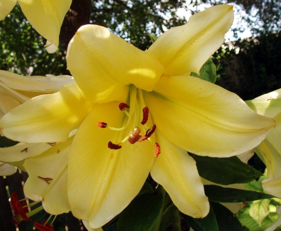 Conca d'Or Orienpet Lily