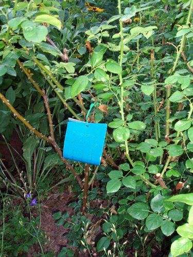Blue Sticky Trap on Aloha Rose Bush - Goodbye Thrip
