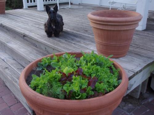 Peg Checking on the Lettuce