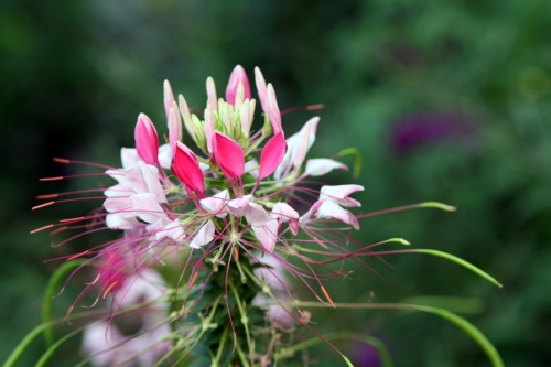 CLEOME OR SPIDER FLOWER  - FULL SUN - 3 ' - 4'  - SELF SEEDING ANNUAL